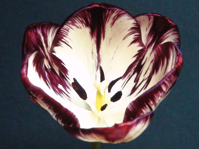Columbine feathered tulip